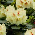 Uprawa Rhododendronów w przydomowych ogrodach