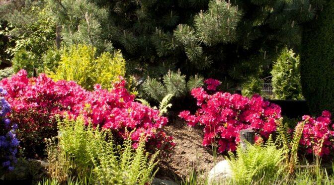 Hodowla Rhododendronów
